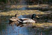 Couple de canards — Photo