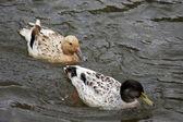 çift ördek — Stok fotoğraf