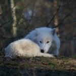 Lobo ártico — Foto Stock