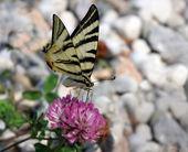 Papilio podalirio — Foto de Stock