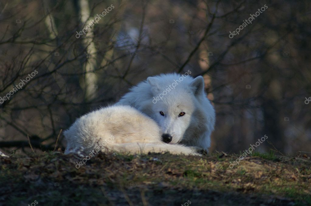 Arctic wolf laying and looking at the camera — Stock Photo #2296674