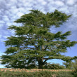Stock Photo: Cedar of Lebanon