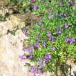 Stock Photo: Lobelia