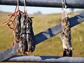 Toupeiras mortas — Foto Stock