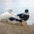 Black and white ducks sitting on the waterside — Stock Photo