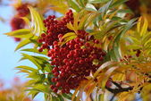 The rowan — Stock Photo