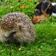 Hedgehog and jack russel — Stock Photo #2323718