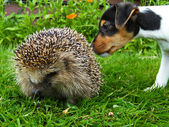 Hedgehog and jack russel — Stock Photo