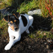 Small jack russel terier - Stock Photo