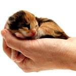 Three-coloured kitten lying in hand — Stock Photo