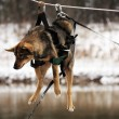 Dog tied to the rope crossing the river - Stock Photo