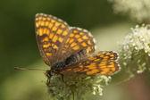 Vlinder — Stockfoto
