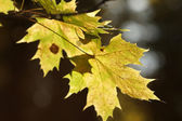Maple leaves at autumn — Stock Photo