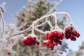 Red berries on ice-covered branches — Стоковое фото