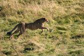 Cheetah3 — Stock Photo