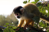SquirrelMonkey3 — Stock Photo