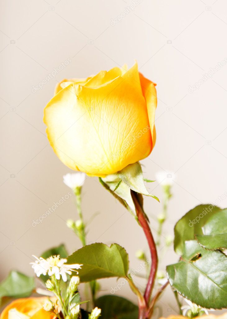 Yellow rose over white background. Beauty nature image — Stock Photo #2406606