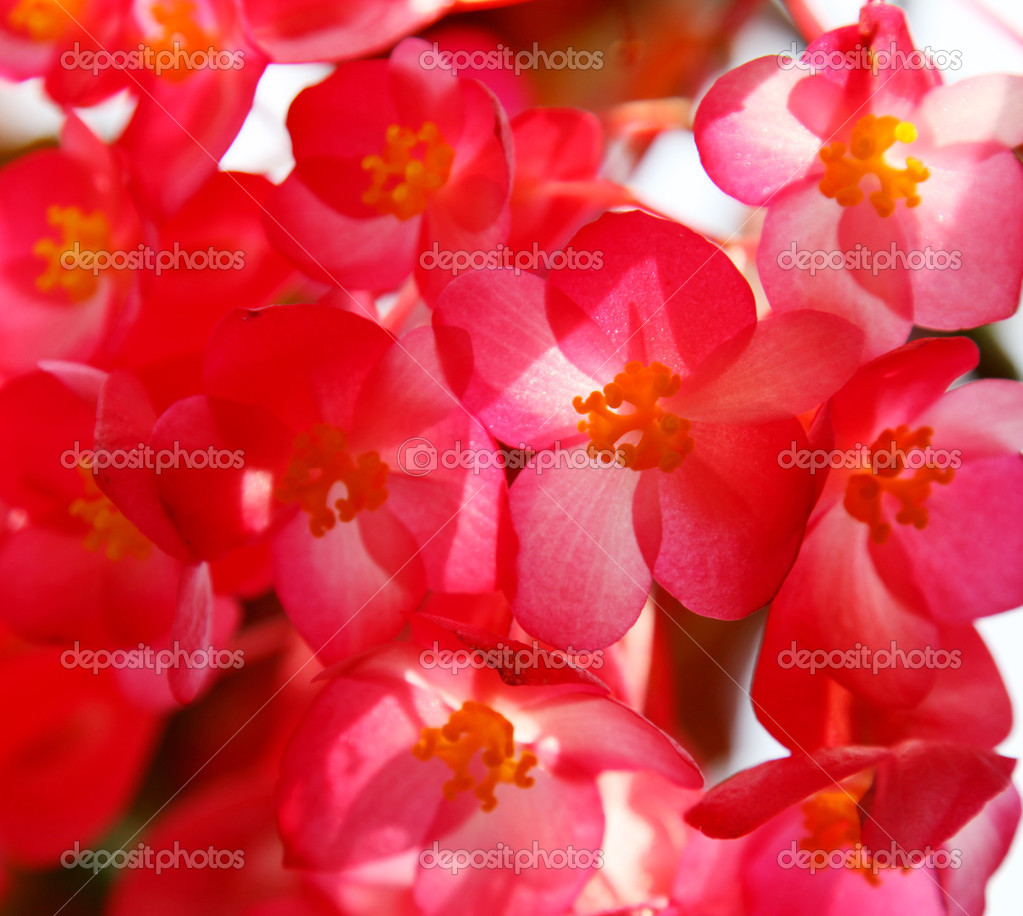 Red petals background with back light. Nature image — Stock Photo #2406649