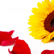 Sunflower and petals — Stock Photo