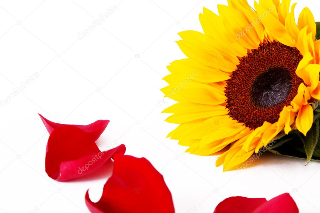 Sunflower with red rose petals in front  — Stock Photo #2543390