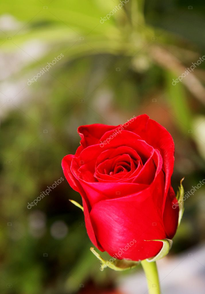 A beautiful red rose on a green background — Photo #2543403