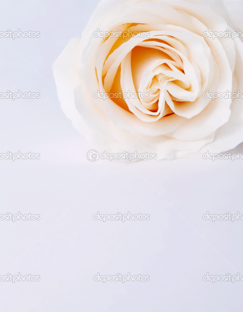 White Rose with space to insert text or design — Stock Photo #2543425