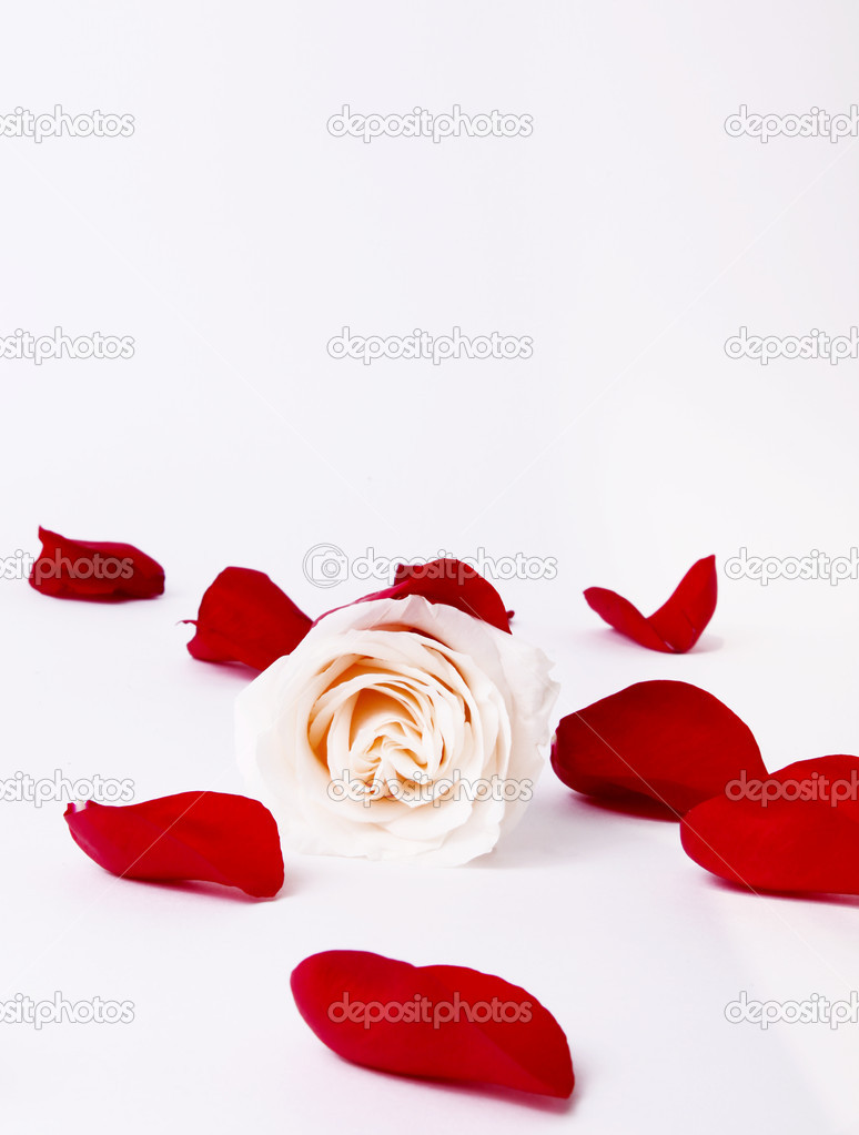 White rose with red petals around. Card image — Stock fotografie #2543441