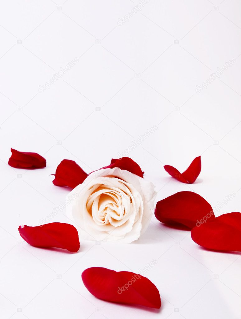 White rose with red petals around. Card image — Stockfoto #2543441