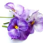 Spring Purple Pansies on White — Stock Photo #2321821