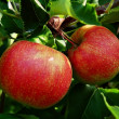Two apples on tree - Stock Photo