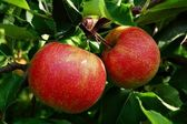 Two apples on tree — Stock Photo