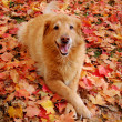 Golden Retriever in Autumn — Stock Photo #2339472