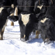 Cows in Snow on Dairy Farm — Stock Photo #2339731