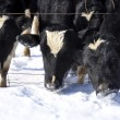 Cows in the Snow on Dairy Farm — Stock Photo
