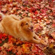 Stock Photo: Smiling Dog in Autumn Leaves