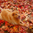 Smiling Dog in Autumn Leaves — Stock Photo #2342180