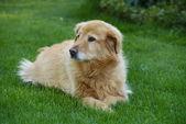 Köpek çim — Stok fotoğraf