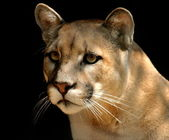 Mighty Cougar — Stock Photo