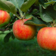 Stock Photo: Tree Ripened Apples