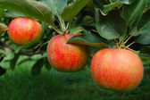 Tree Ripened Apples — Stock Photo