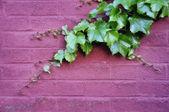 Ivy on Brick — Stock Photo