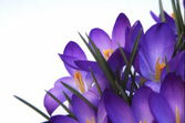 Spring Crocus — Stock Photo