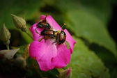 Japanese Beetles on Rose — Stock Photo