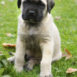 Baby English Mastiff — Stok fotoğraf