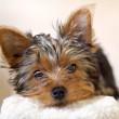 Yorkie Pup — Stock Photo