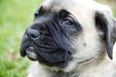 English Mastiff Puppy — Stock Photo
