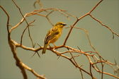 Little Yellow Bird — Stock Photo