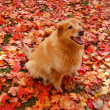 Orange Dog in Orange Leaves — Stock Photo
