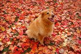 Orange Dog in Orange Leaves — Stock Photo