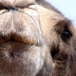 Camel Kiss — Stockfoto